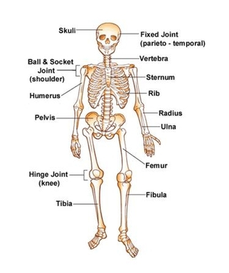 Diagram Skeletal System